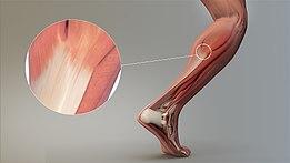 Šľachy a ladnosť pohybu